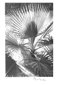 "Julius Shulman - Vintage, Vest Pocket Camera,  ""Palms"" 1934"