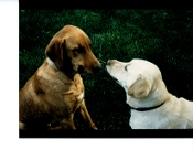 "Julius Shuman - Vintage,  2 Dogs, ""Communication"""