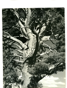 "Julius Shulman - Vintage Collection - ""Trees""  Circa 1930's"
