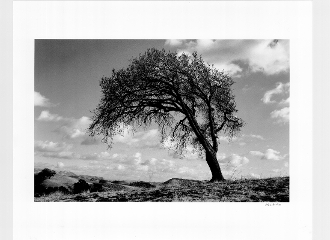 Julius Shulman-Vintage Windswept Tree. Berkley, Ca.1934