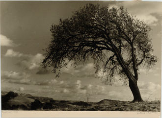 "Julius Shulman-Rare Vintage,""Windswept Tree"", Berkeley, Ca. 1935"
