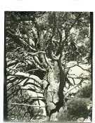 "Julius Shulman-Personal Collection-Vintage Landscape, ""The Tree"""